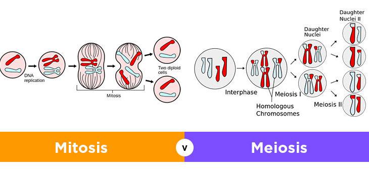 9 Perbedaan Mitosis dan Meiosis Pada Sel Terlengkap