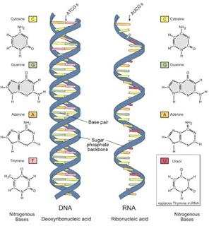 7 Perbedaan DNA dan RNA Terlengkap