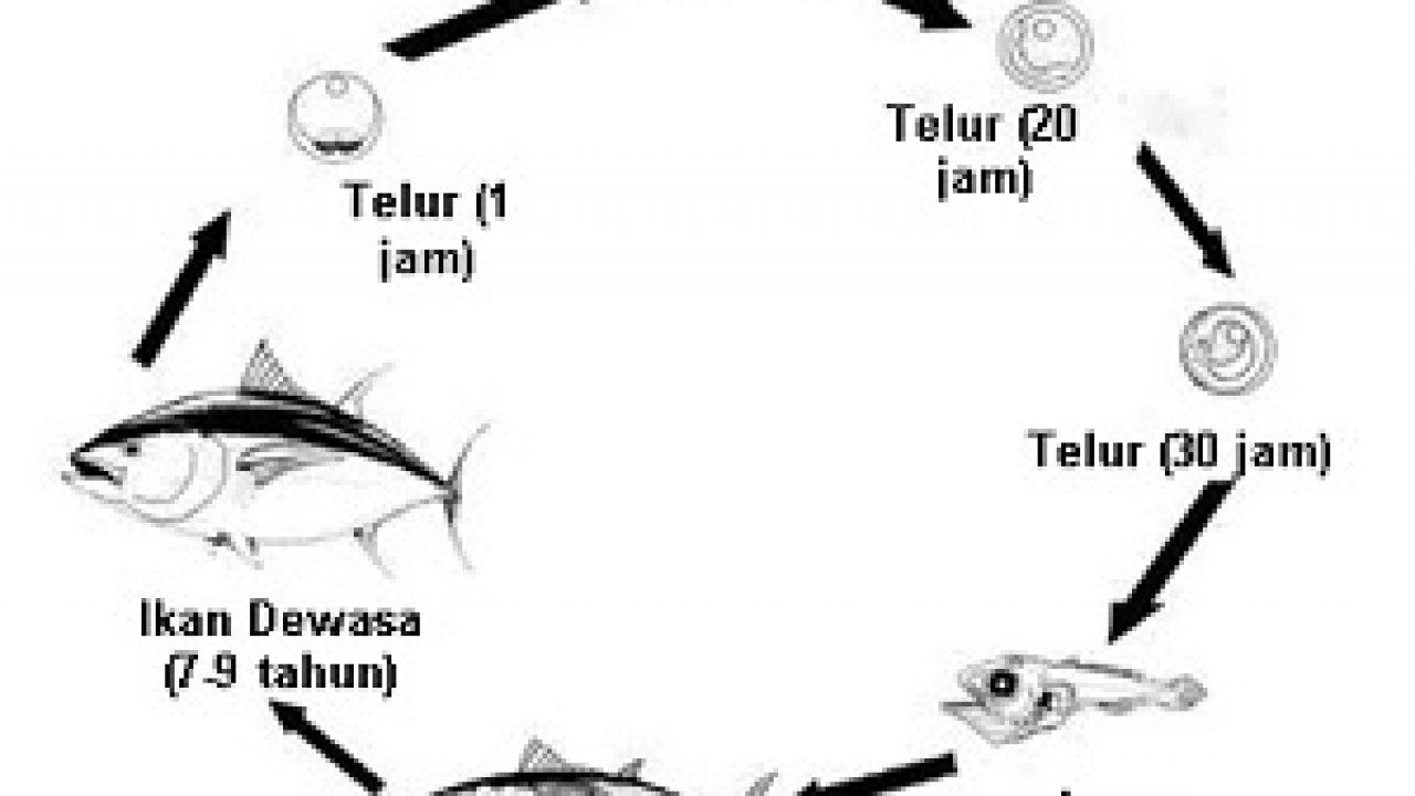 Siklus Hidup Ikan Beserta Penjelasannya MateriIPA