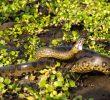 13 Contoh Hewan yang Ada di Sungai Amazon