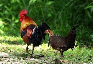 Ayam Dewasa