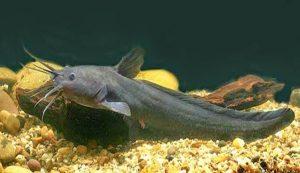 Ikan Sembilang