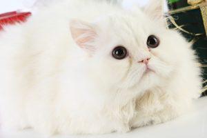 kucing F. Catus