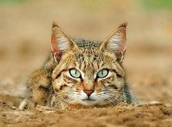 kucing F. Silvestris