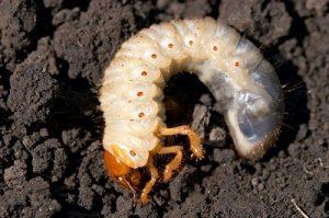 larva kumbang