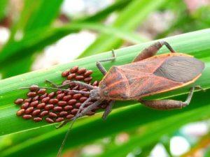 telur kumbang