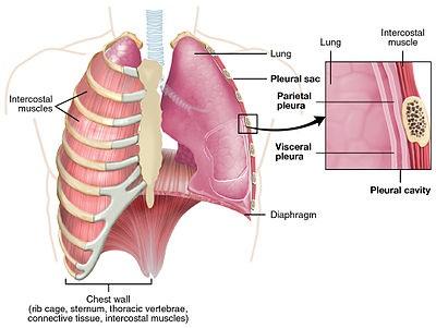 Rongga Pleura : Letak-Struktur-Fungsi-Gangguan