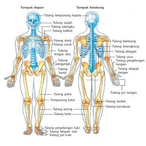3 Sistem Gerak Pada Manusia dan Penjelasan Lengkapnya
