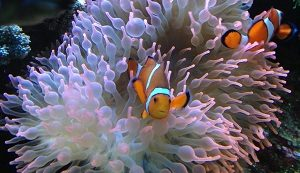 Clown Fish dengan Anemon
