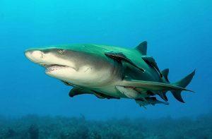 Ikan remora dan hiu