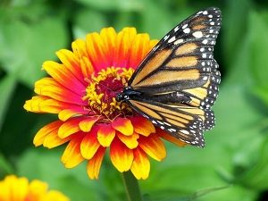 Kupu-kupu dan bunga
