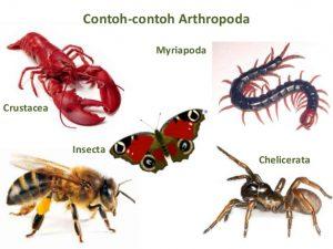Contoh Arthropoda