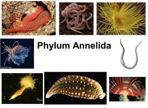 Ciri Filum Annelida – Peranan – Struktur Tubuh – Contohnya