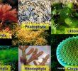 7 Klasifikasi Alga dan Ciri-cirinya Terlengkap