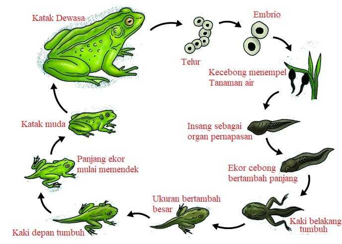 Proses Tahapan Metamorfosis Katak dan Karakteristiknya