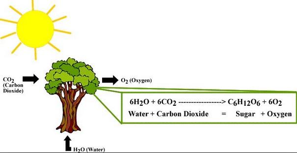 Proses Fotosistesis Pada Tumbuhan dan Faktor yang Mempengaruhi