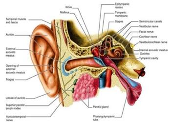 Bagian-Bagian Telinga Manusia dan Fungsinya
