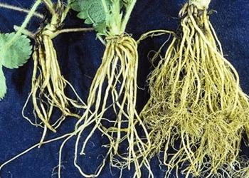 Akar Tumbuhan: Jenis – Fungsi dan Strukturnya