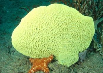 Demospongiae: Ciri – Peranan dan Contohnya
