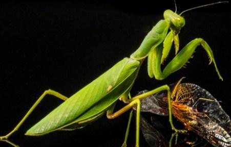 Metamorfosis Belalang – Jenis dan Ciri Cirinya