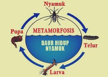 Metamorfosis Nyamuk Dari Telur Hingga Nyamuk Dewasa