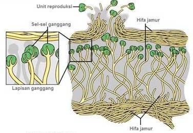 struktur lumut kerak